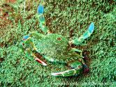 crabe, carapace, avant très large, vert olivâtre, arrière, 3 taches rougeâtres