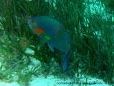 poisson, museau rayé, joue, rouge, nageoires pectorales, jaunes