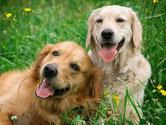 犬、仔犬のお世話、お散歩代行、ペットシッター、ドッグシッター