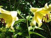 лилии в нашем саду