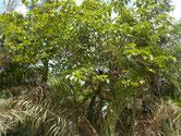 Süsswasser anzeigender Baum
