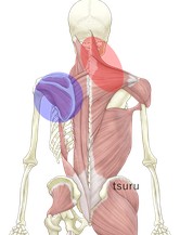 肩甲骨の可動性