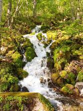 雪解け水はブナ林を白く流れます