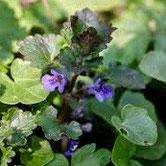 Gundermann eine Pflanze mit Entzündungshemmenden Eigenschaften