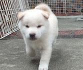 白柴子犬の画像
