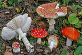 Amanita muscaria - Amanite tue-mouches
