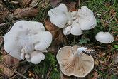 Clitopilus prunulus - Meunier