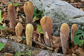 Clavariadelphus pistillaris - Clavaire en pilon