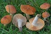 Cuphophyllus pratensis - Hygrophore des prés