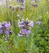Lavendel für ruhigen Schlaf