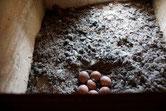 Sieben Eier umfasst das Gelege des Turmfalken im Kirchturm Frohse (Foto: Agnes Schulz)