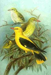 Pirol (Oriolus oriolus)