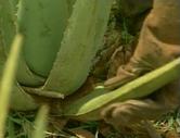 Seules les feuilles extérieurs à la plante sont coupées, elles ont généralement trois ans et présentent une teneur maximale en précieux ingrédients comme l'acemannan. | Aloé vera santé