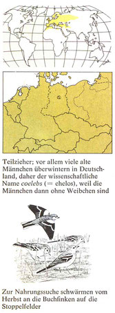 BiHU Vogelführer Buchfink Natur