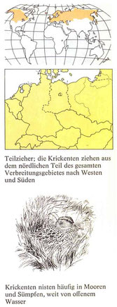 BiHU Vogelführer Krickente Natur