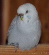 normal weiß mit grau überhaucht (Lavender)
