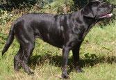 Ayla = Chelsea vom Schmiehetal Labrador Welpen