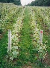 Vigne enherbée, cépage Pinot Meunier.