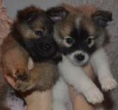 Spitzige Welpen und Junghunde