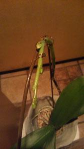 2/22に撮った胡蝶蘭です