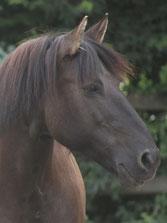 Die Fotovorlage für das Pferdegemälde von Huzule Pandora, Foto: L.Spitzer