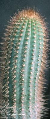 Pilosocereus mollispinus