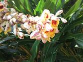 ゲットウの開花(4,5月)