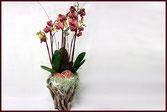 Orchidee, Phalaenopsis, blühende Pflanze,