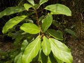 Süsswasser anzeigende Pflanze 1