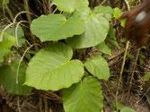 Süsswasseranzeigende Pflanze 2