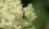 Rutpela maculata - Lepture maculée