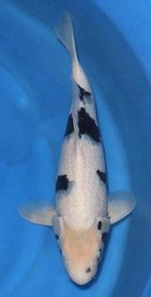 Okawa nisai 54cm