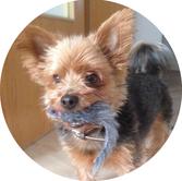 Pino, Ladenhund