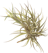 Tillandsia andicola