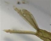 キイトトンボ尾鰓