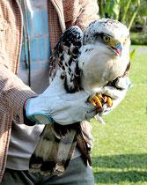 放鳥されたカンムリワシの幼鳥「シイラ」=12日午前、やいま村