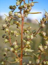 Artemisia dracunculus by Matt Lavin LCC2.0