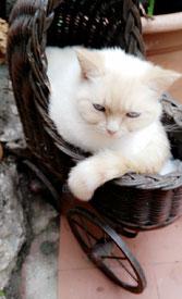 kein Halsband bei Katzen