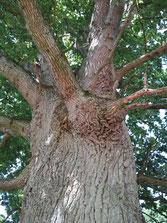 Eichen sind Erstbesiedler, so wie Birken auch. Sie kommen auch mit kargen Böden aus. Eine große alte Eiche mit mächtigem Habitus ist oft ein Hinweis auf einen guten, spirituellen Ort.