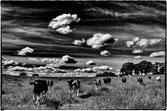 Jeunes vaches avançant vers le photographe