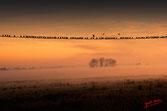 Rassemblement d'oiseaux sur le fil en automne, avant le départ, au petit matin dans  la brume matinale arrosée dans la lumiere du soleil rouge