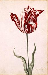 Semper Augustus, tulipe connue pour être la tulipe la plus chère vendue lors de la folie des tulipes aux Pays-Bas au 17e siècle (Image : NORTON SIMON ART FOUNDATION)