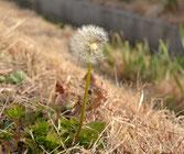 上津橋環境水路に咲くタンポポの綿毛