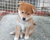 柴子犬の画像