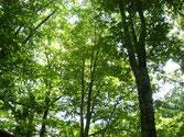 世界自然遺産 白神山地 ブナ林