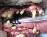 歯周病で全身麻酔をかけた歯科処置が必要なワンちゃんのお口