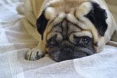 un chien carlin couché sur un lit avec une couverture blanche et grise par coach canin 16 dresseur chien angoulême