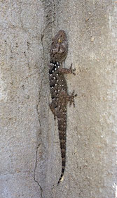 Gecko born in Namibia