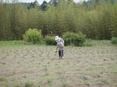 ヨモギ一本一本の根元に、肥しを蒔いて行きます。