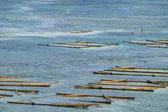 キリンサイ養殖筏